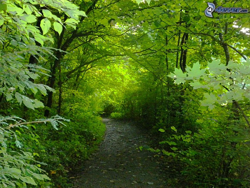 chemin forestier, arbres verts