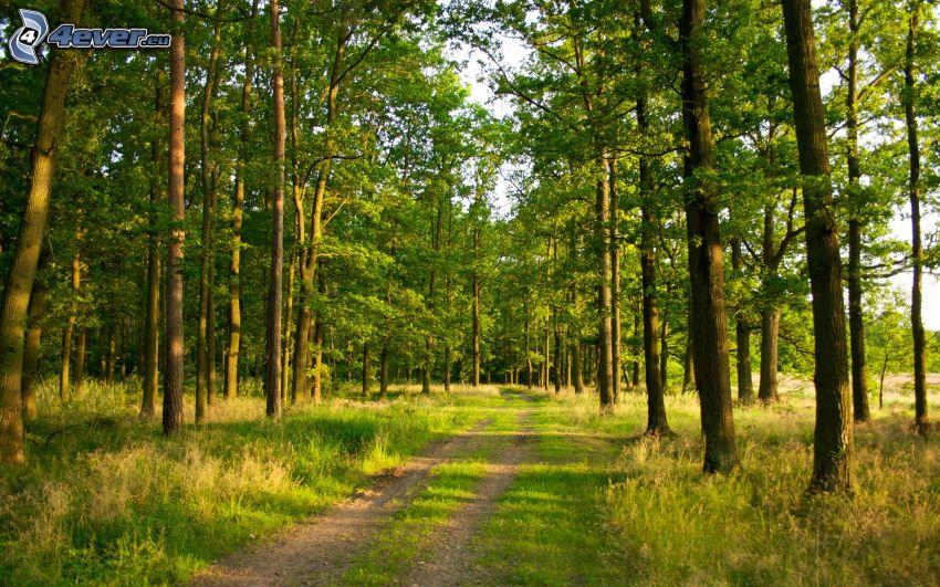 chemins forestier, vert