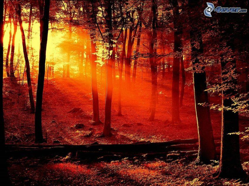 couchage de soleil dans la forêt, coucher du soleil rouge, rayons du soleil