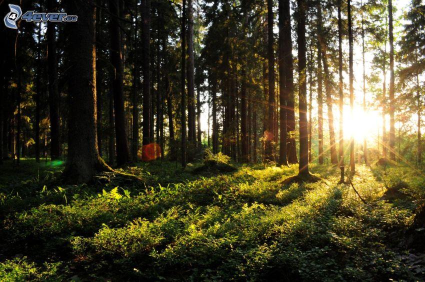 couchage de soleil dans la forêt, rayons du soleil