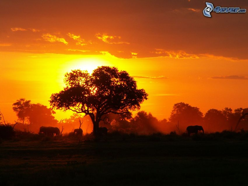 couchage de soleil derrière un arbre, savane, éléphants, ciel orange