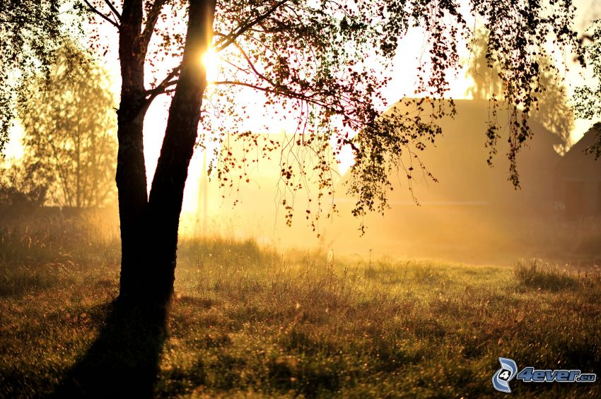 couchage de soleil derrière un arbre, silhouette de l'arbre, prairie