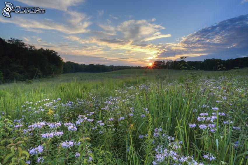 coucher du soleil dans une prairie, fleurs des champs, forêt