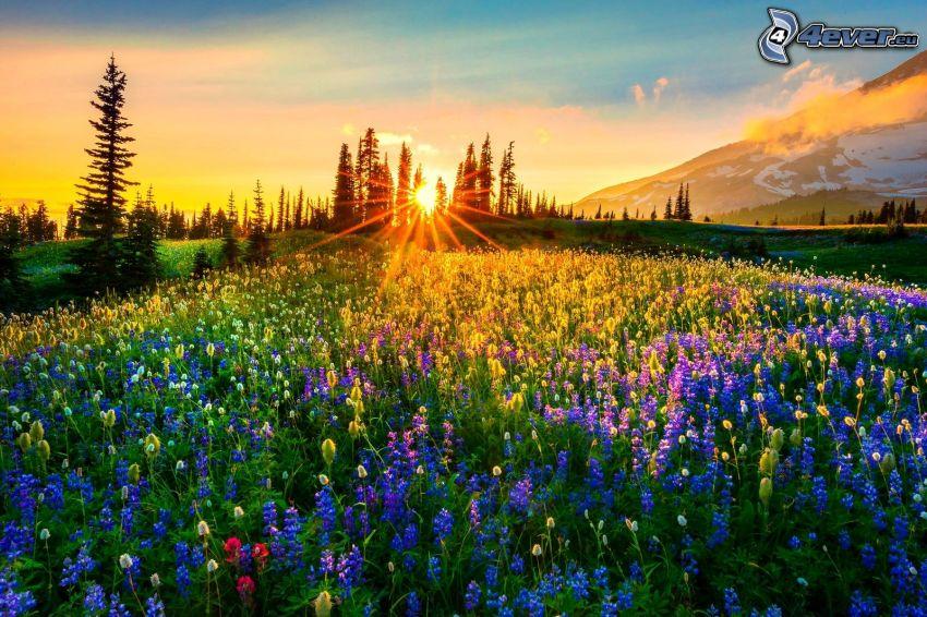 coucher du soleil dans une prairie, silhouettes d'arbres, lupins