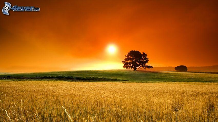 Coucher du soleil sur le champ, arbre solitaire