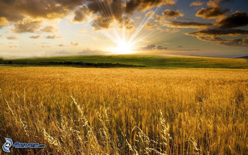 Coucher du soleil sur le champ, champ de blé mûr, nuages sombres