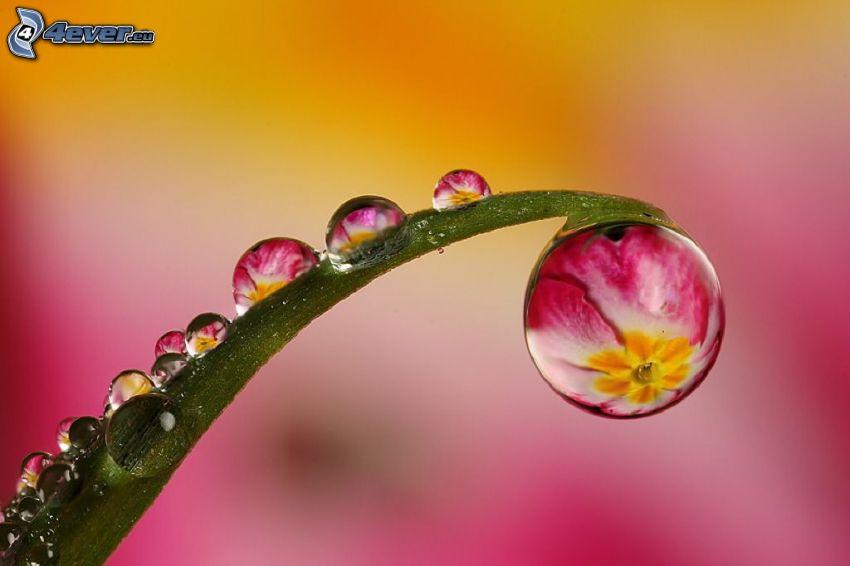 feuille, gouttes d'eau, fleurs roses, macro