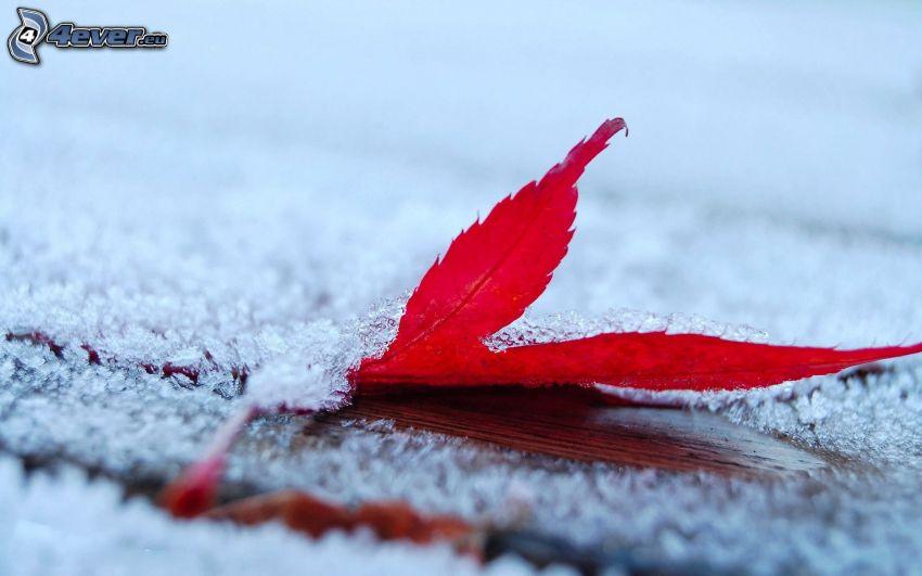 feuille rouge en automne, givre