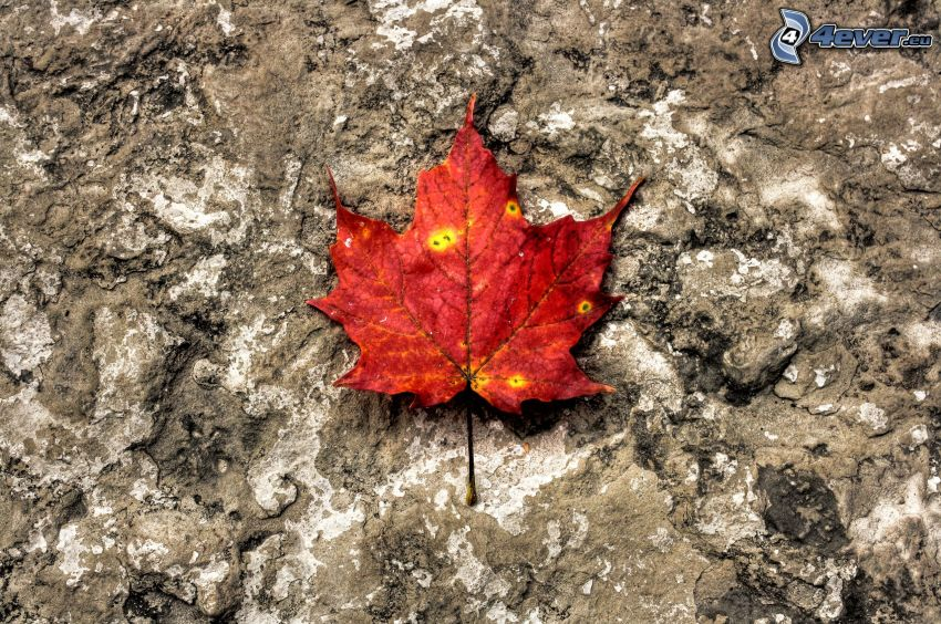 feuille rouge en automne, rocher