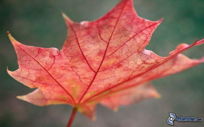 feuille rouge en automne