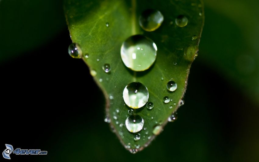 feuille verte, gouttes d'eau, macro