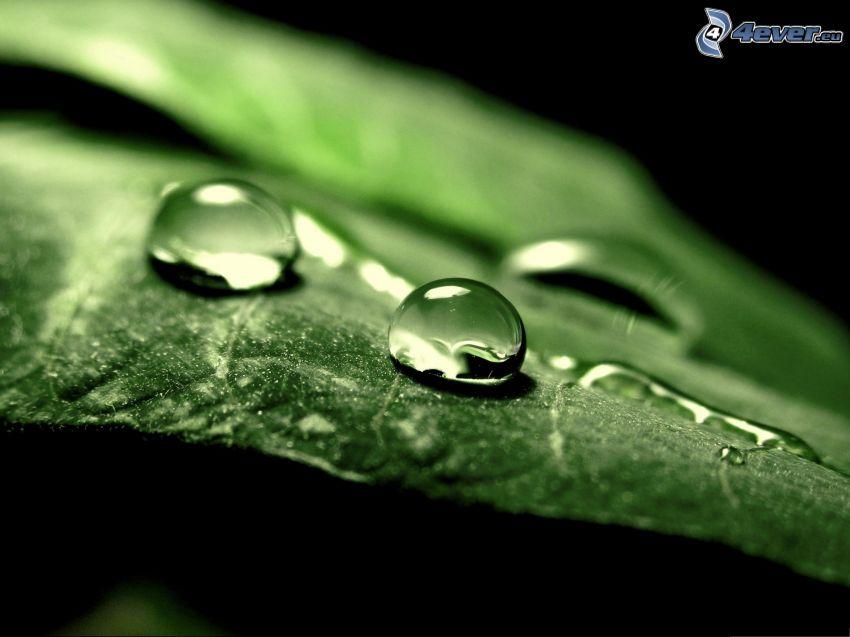 feuille verte, gouttes d'eau