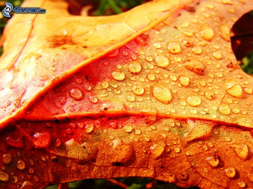 feuilles jaunes, feuille rosée