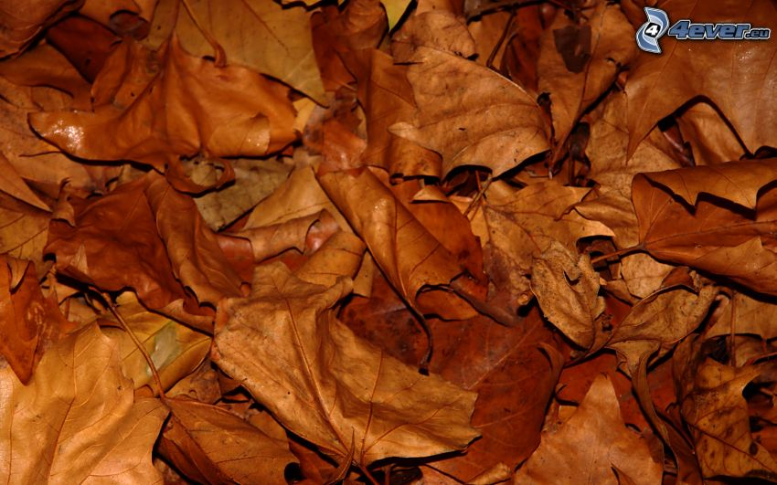 feuilles sèches