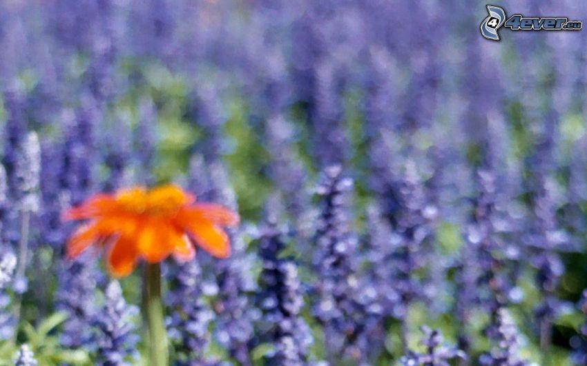 fleur orange, fleurs violettes