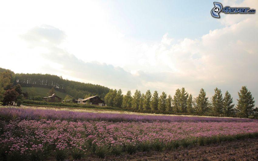 fleurs violettes, champ