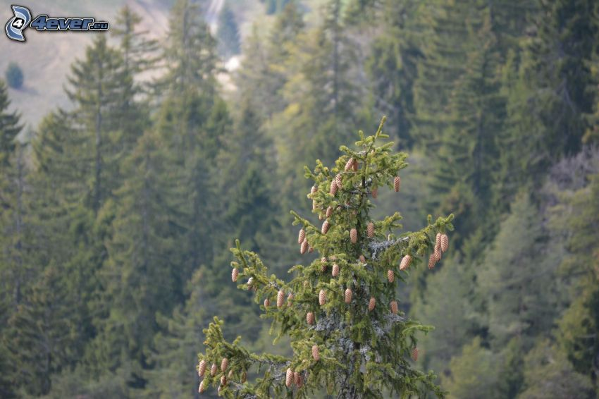 forêt, arbres conifères, cônes de conifères