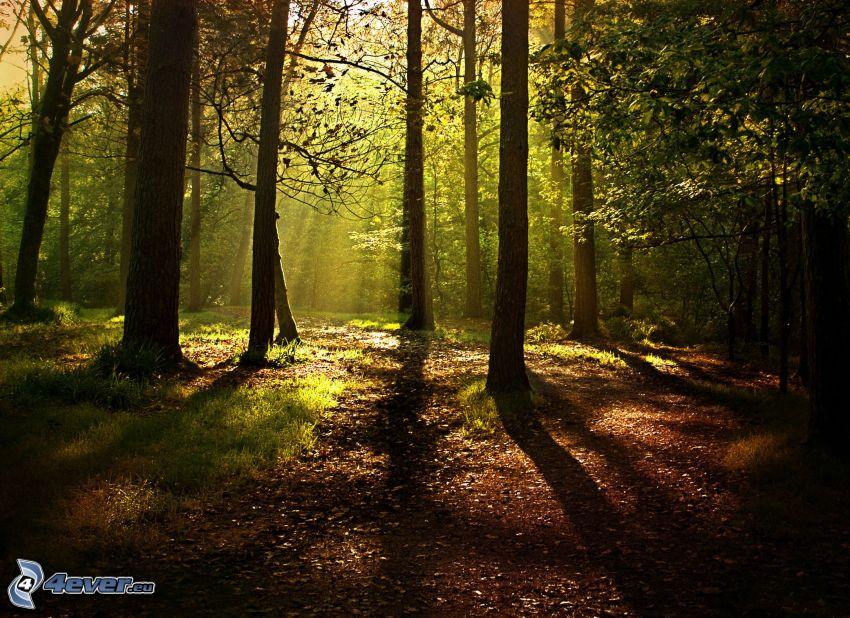 forêt, rayons du soleil