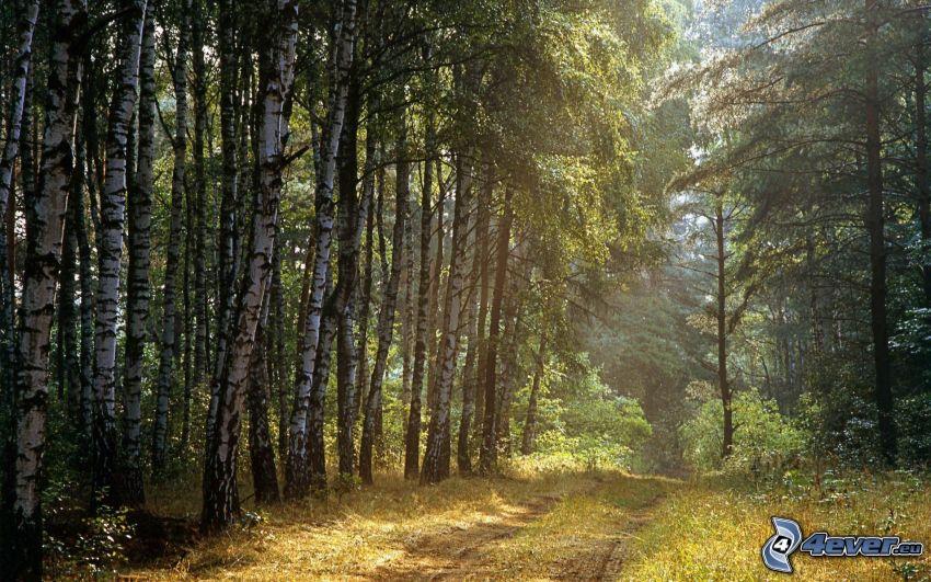 forêt de bouleaux, chemins forestier