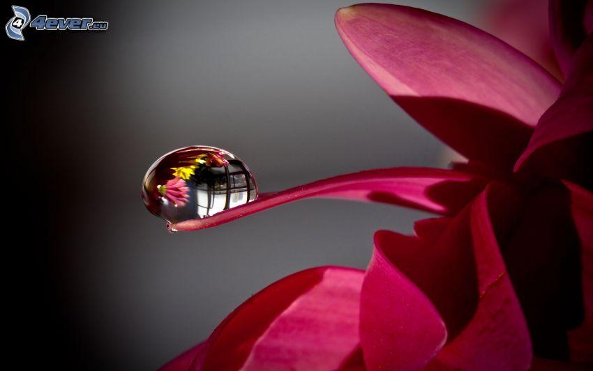 goutte d'eau, fleur