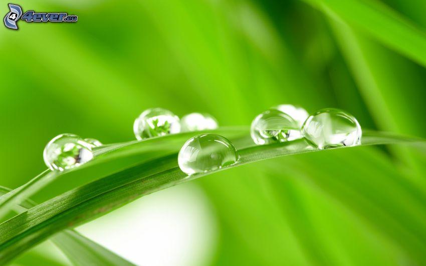 gouttes d'eau, brins d'herbe, macro