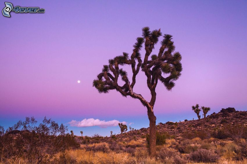 Joshua Tree National Park, arbre, lune