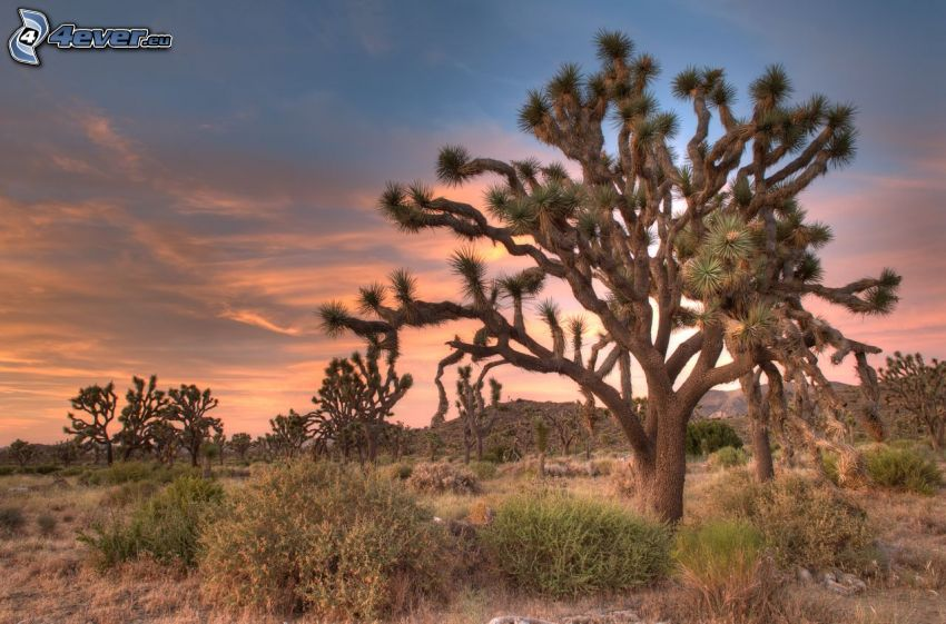 Joshua Tree National Park, arbres, arbustes