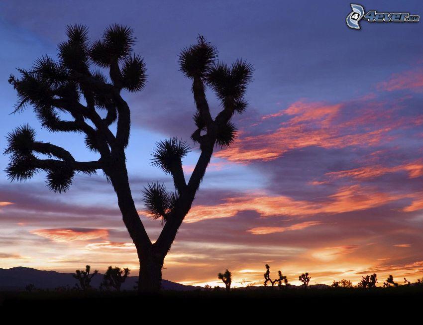 Joshua Tree National Park, silhouettes d'arbres, après le coucher du soleil