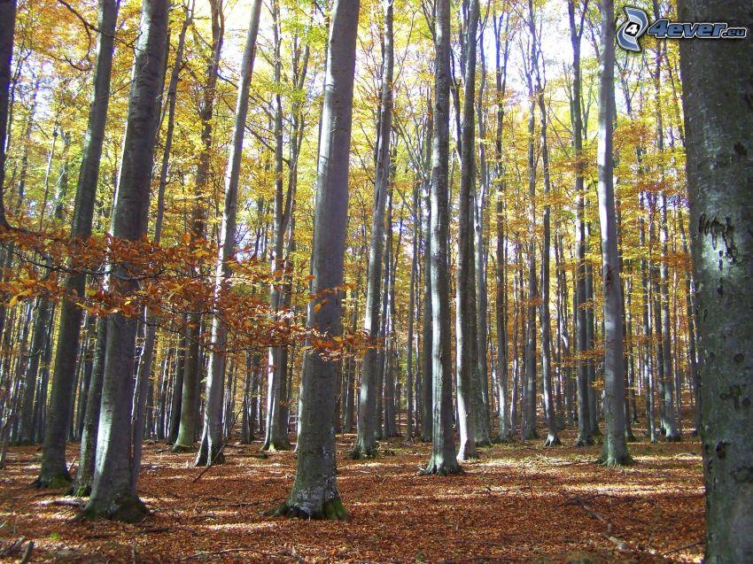 la forêt de hêtres, les feuilles d'automne
