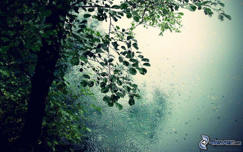 lac, arbre feuillu, des ronds dans l´eau