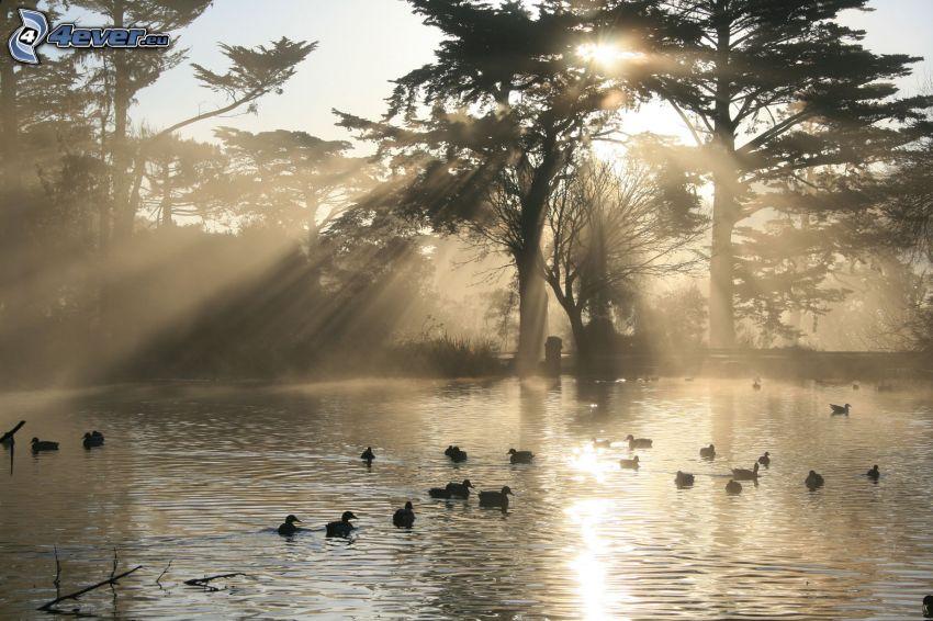 lac, canards, rayons du soleil