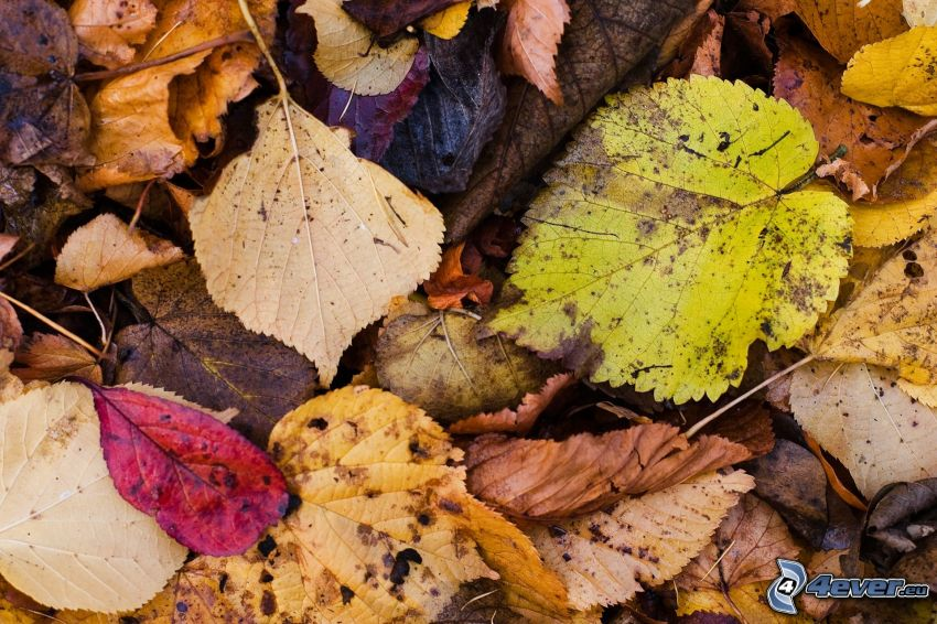 les feuilles d'automne, feuilles colorées