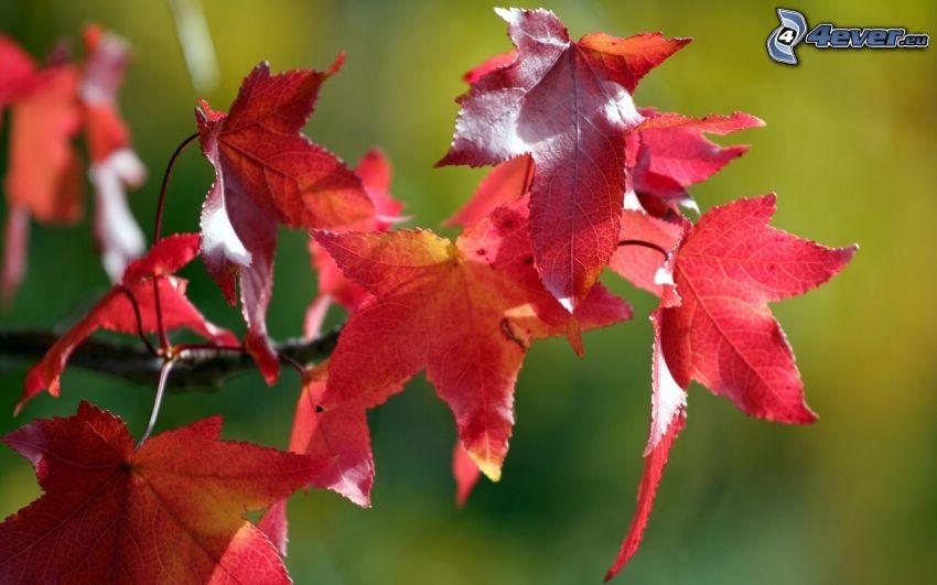 les feuilles d'automne, feuilles rouges