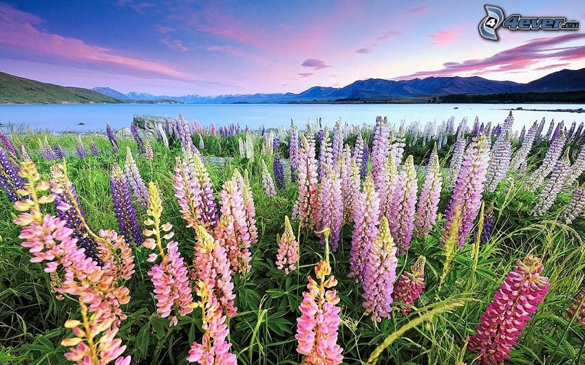 lupins, lac, montagne