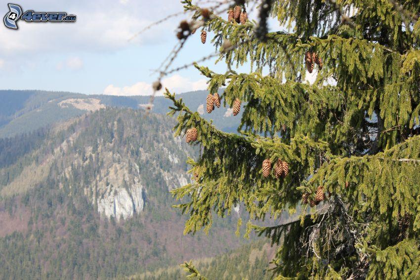 Malá Stožka, arbres conifères, cônes de conifères