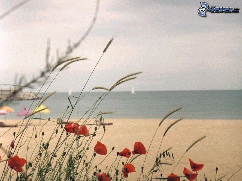 coquelicot, plage, mer
