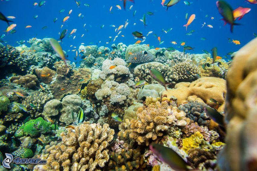 coraux, fond marin, troupe de poissons
