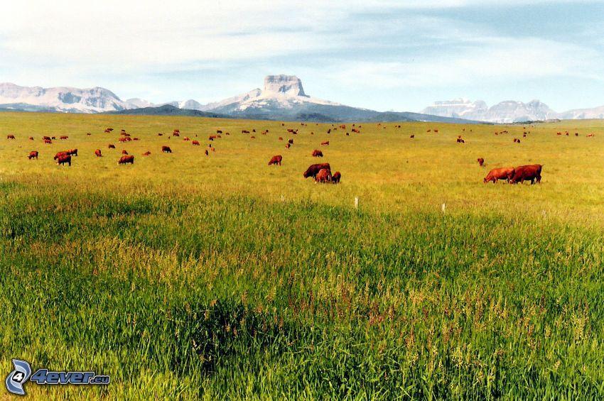 Chief Mountain, vaches, prairie