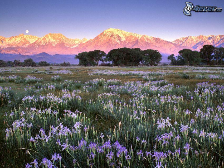 fleurs bleues, collines enneigées