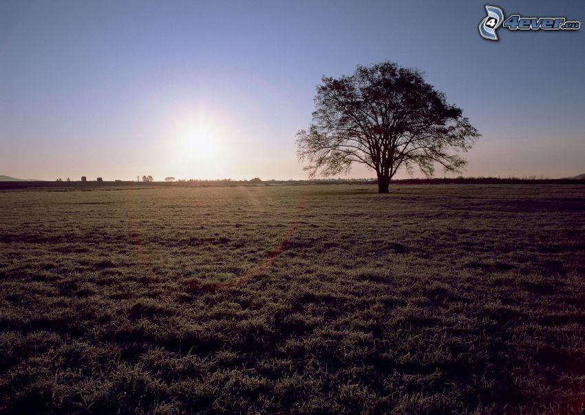 arbre au coucher du soleil, champ, prairie