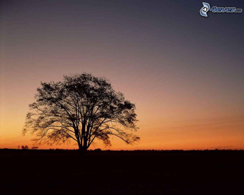arbre solitaire, silhouette de l'arbre, après le coucher du soleil