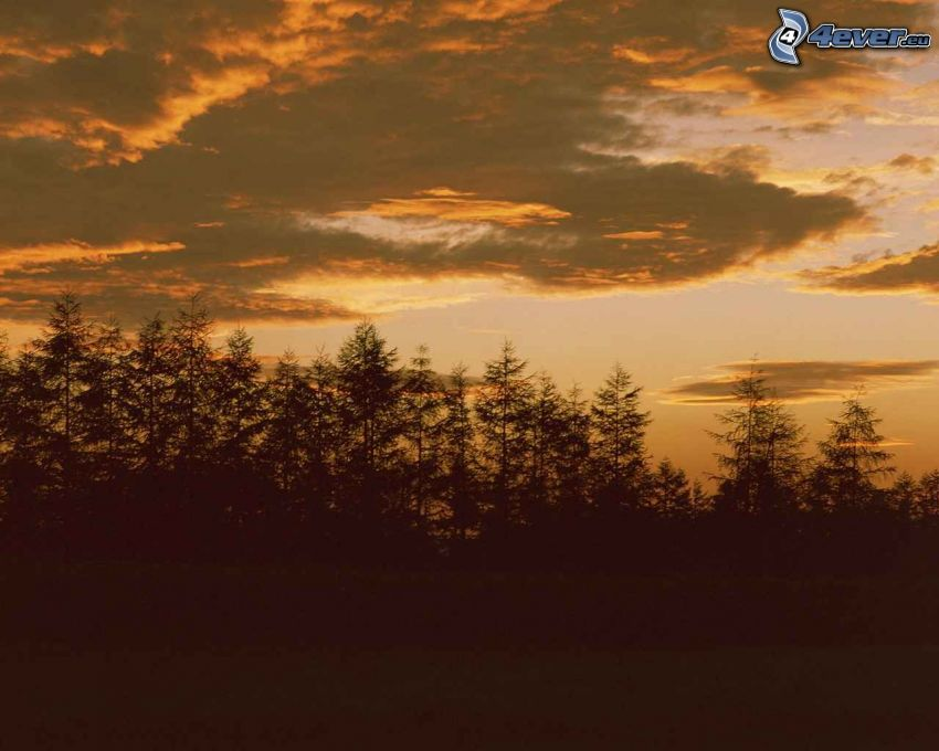 silhouette d'une forêt, arbres conifères, après le coucher du soleil