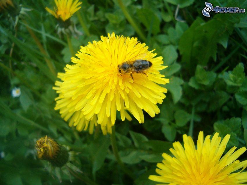 abeille sur pissenlit, fleur, l'herbe