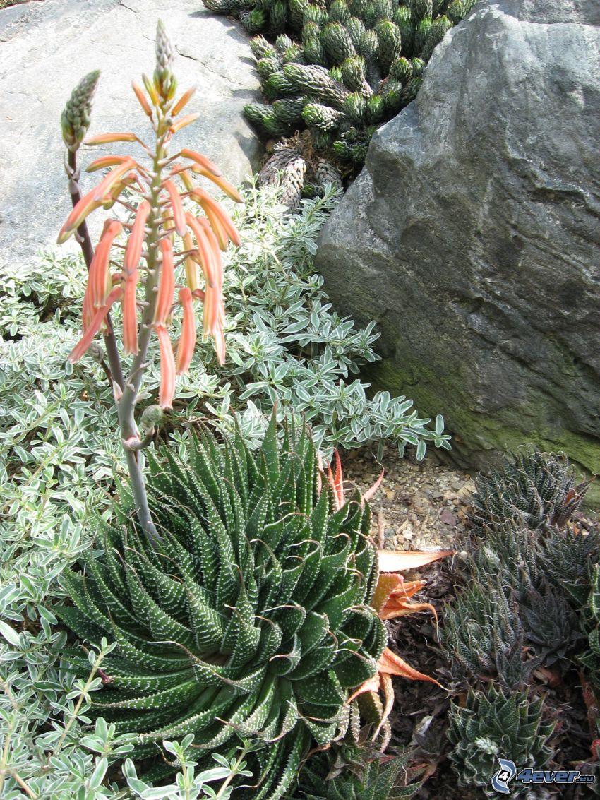 Aloe aristata, fleur orange, rochers