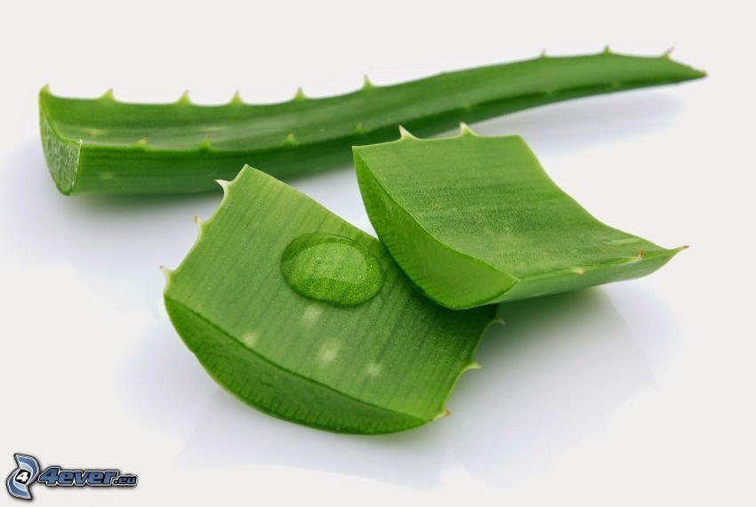 Aloe Vera, feuilles vertes, goutte d'eau
