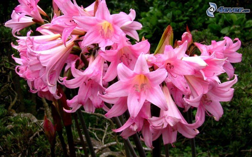 Amaryllis, fleurs roses