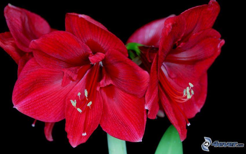 Amaryllis, fleurs rouges