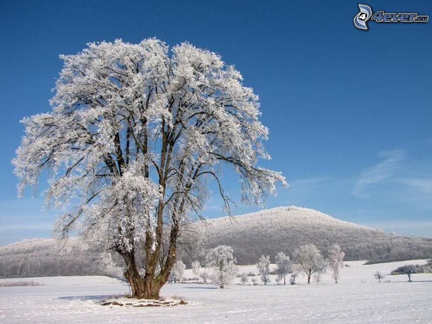 arbre enneigé, montagne, neige