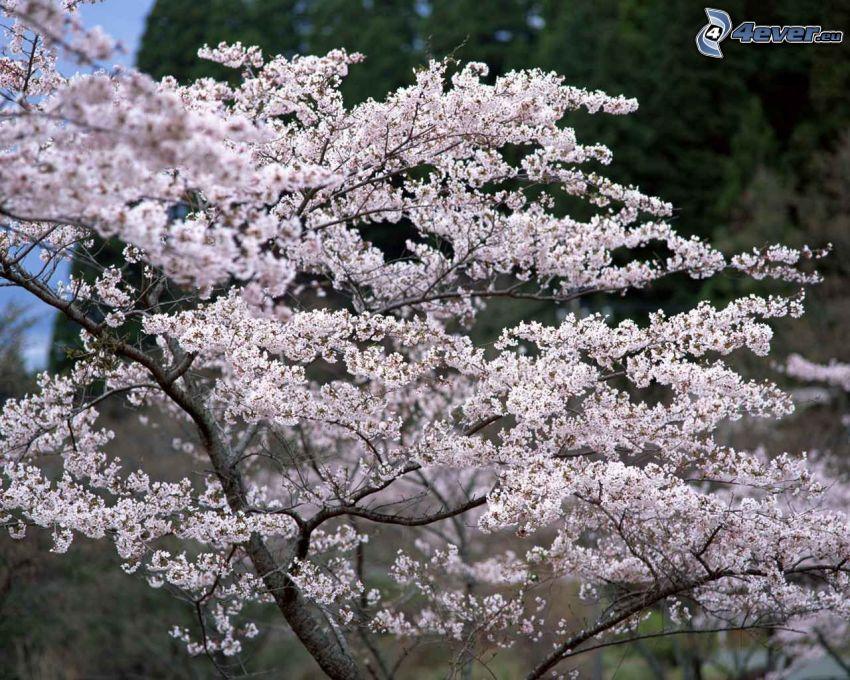 arbre fleuri, pommier, printemps