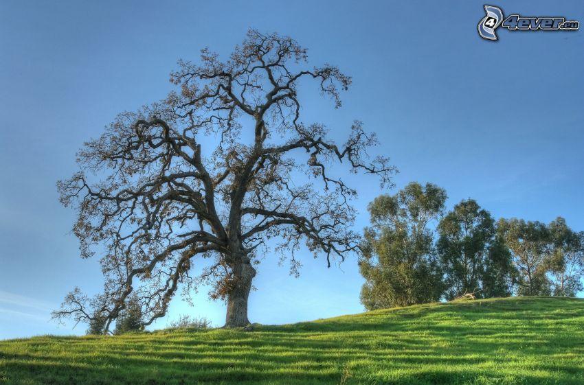 arbre solitaire, prairie, arbres